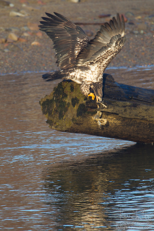 A juvenile bald eagle (Haliaeetus leucocephalus) scavenges for food stuck to a log over the Squamish River in Brackendale, British Columbia, Canada. While bald eagles are thought of as predators, most often they scavenge for food.