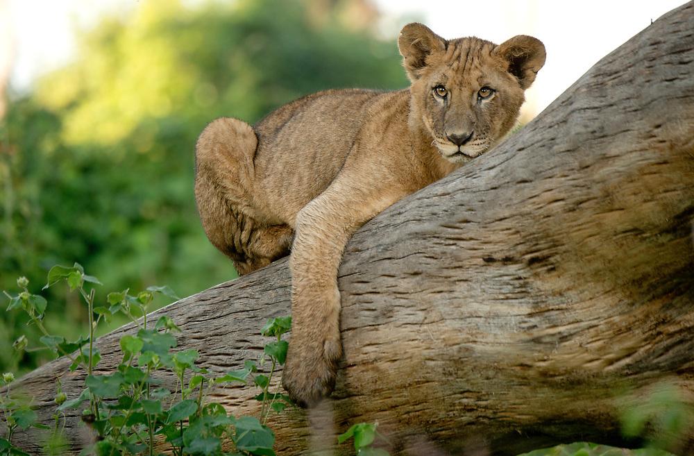 Lion cub in brush, Lake Nakuru National Park, Kenya