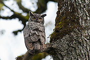 USA, Oregon, Champoeg State Park, Great Horned Owl (Bubo virginianus)