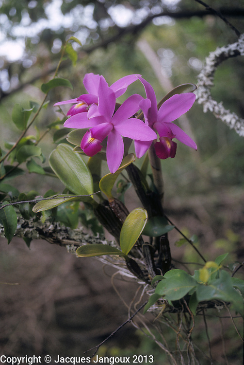 Cattleya violacea (Orchidaceae), epiphytic orchid in forest gallery, Guiana Highlands, Venezuela.