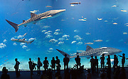 Okinawa Churaumi Aquarium at Ocean Expo Park. The main tank called the 'Kuroshio Sea' holds 7,500-cubic meters (1,981,290 gallons) of water and features the world's largest acrylic glass panel, measuring 8.2 meters by 22.5 meters with a thickness of 60 centimeters. Whale sharks and manta rays are kept amongst many other fish species in the main tank.