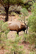 07 SEPTEMBER 2002 - GRAND CANYON NATIONAL PARK, ARIZONA, USA: A bull elk rubs its antlers on a tree in the Grand Canyon National Park in northern Arizona, Sept. 7, 2002. PHOTO BY JACK KURTZ