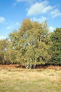 Silver birch tree, Suffolk Sandlings heathland, Shottisham, Suffolk, England