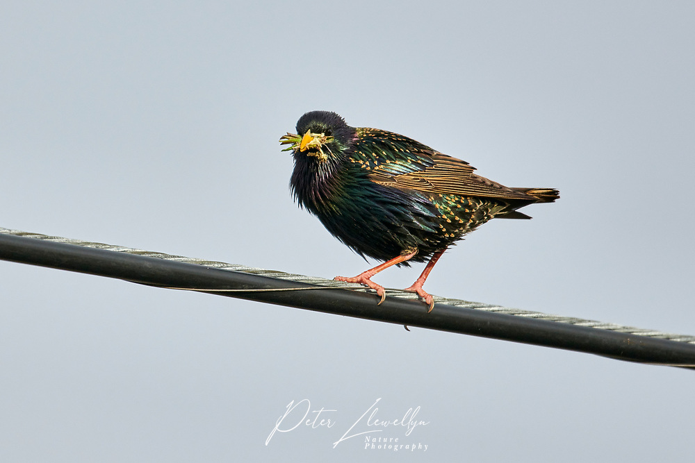 Common Starling (Sturnus vulgaris) AKA Europena Starling perched on a wire, Cherry Hill, Nova Scotia, Canada