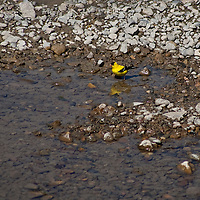Goldfinch bathing Streamside in Ontario's protected Rouge Park landscape.