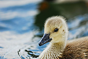Stylized close up of a canada goose, duckling.