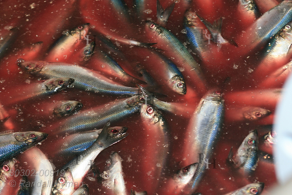 Bloody water covers mass of herring during rinsing operation at Lofoten Pelagiske fish processing factory; Svolvaer, Lofoten Islands, Norway.