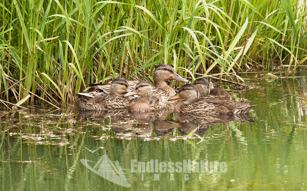 The end of June and the Mallard chicks are almost as big as the adults.