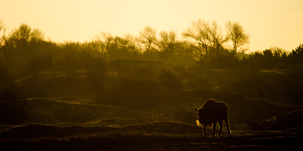 European bison (Bison bonasus) walking in dune landscape on cold morning