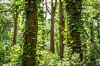 A forest scene on the North side of Maui, Hawaii in the Koolau Forest Reserve.