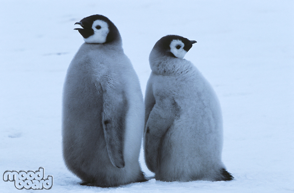 Two young Emperor Penguins standing back to back