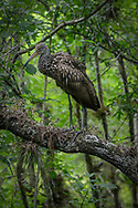 The Limpkin is an odd bird that looks like a large rail, but is skeletally closer to the cranes. It is found in marshes with some trees or scrub in the Caribbean, South America, and southern Florida.  Limpkins eat mostly apple snails.