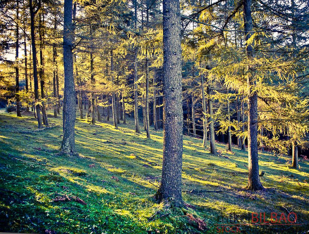 Forest landscape. Barazar. Biscay, Spain