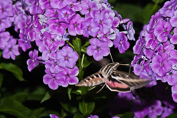 "Whitelined Phinx Moth,  Hyles lineata.  The most common ""hummingbird moth""."