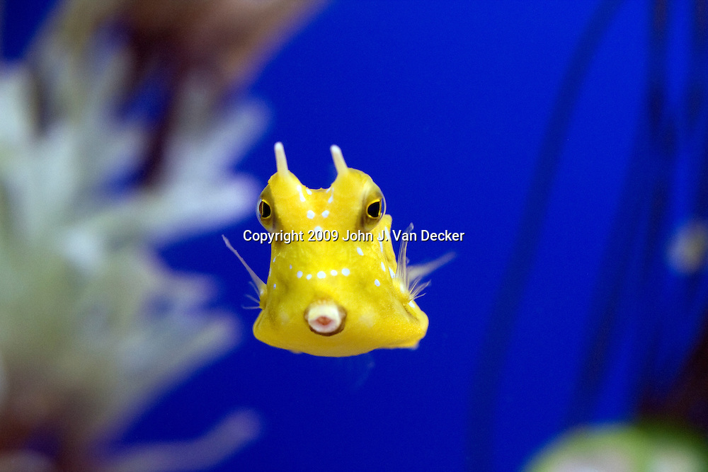 Longhorned Cowfish, Lactoria cornuta