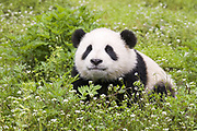 Giant Panda<br /> Ailuropoda melanoleuca<br /> 6-8 month-old cub <br /> Bifengxia Base of China Conservation and Research Center of Giant Panda, Ya'an, China<br /> *captive