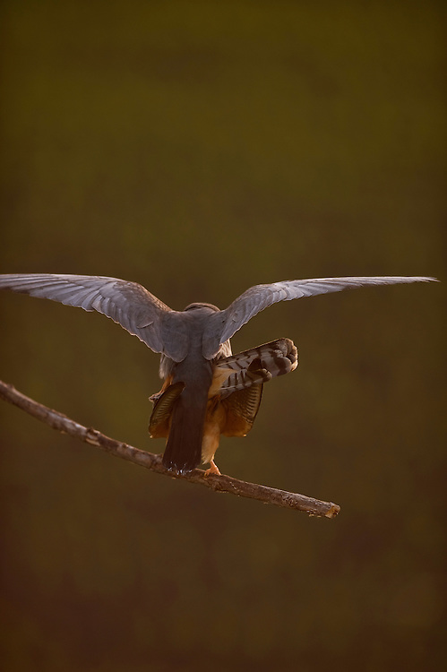 The Red-footed Falcon (Falco vespertinus) mating, Hortobagy National Park, Hungary