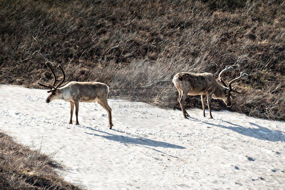 Caribou stand on a patch of snow on the tundra to stay cool on a warm day in Denali National Park Alaska. Denali National Park and Preserve encompasses 6 million acres of Alaska's interior wilderness.
