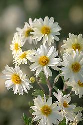 Chrysanthemum 'E.H. Wilson'