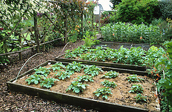 The vegetable garden with raised beds edged with wood. Potatoes mulched with grass clippings in the foreground.
