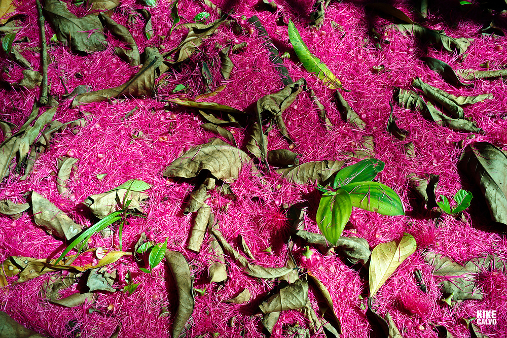Malay apple tree flower petals aka Malay Apple Rose, Syzygium malaccense