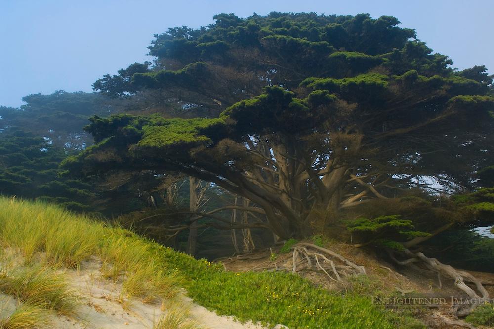 Cypress tree at Pfeiffer Beach, Big Sur Coast, Monterey County, California