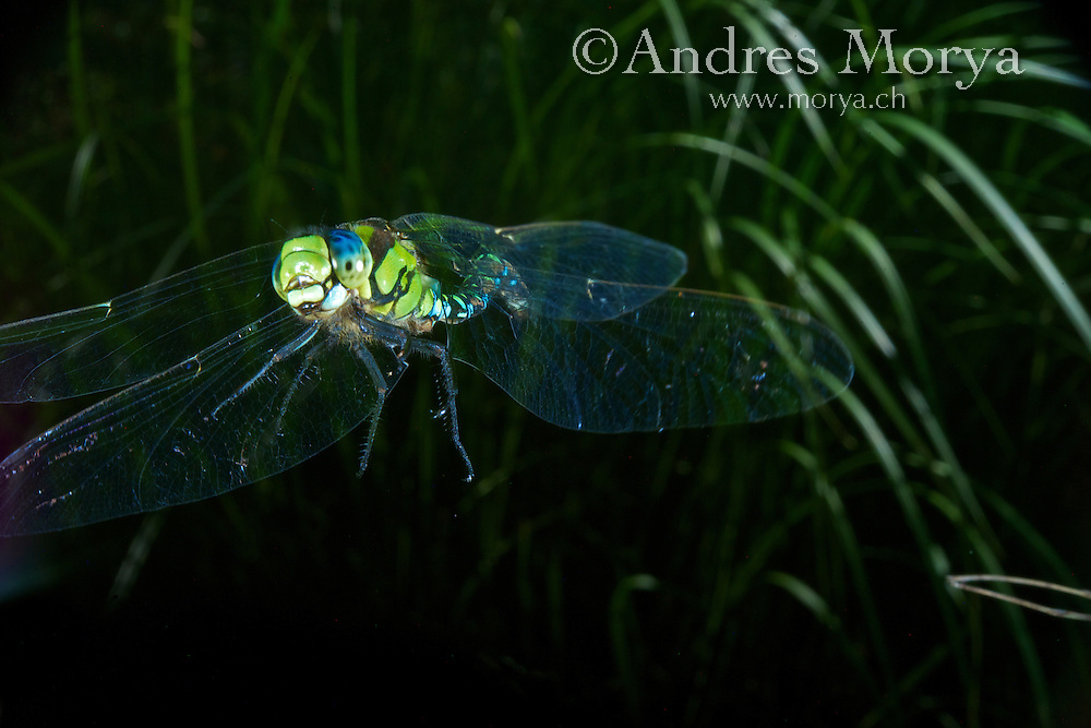Southern Hawker or Blue Darner in Flight (Aeshna cyanea), Switzerland<br /> Insect in Flight, High Speed Photographic Technique Image by Andres Morya