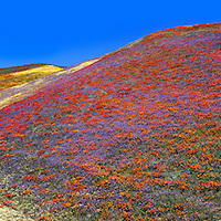 Hills ablaze with poppies