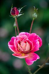Rosa Calendar Girl syn. 'Rawcalendar'