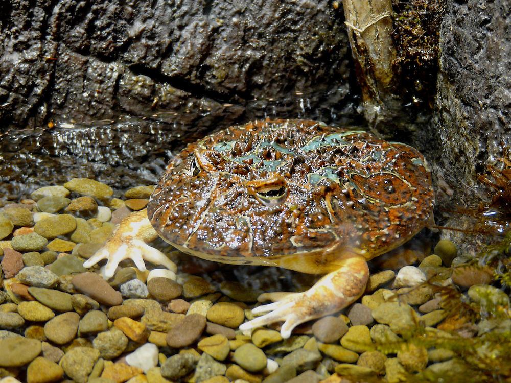 EN&gt; Ornate horned frog |  <br /> SP&gt; Escuerzo