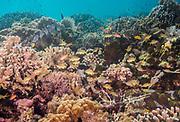 Yellow chromis swim above a reef in Indonesia.
