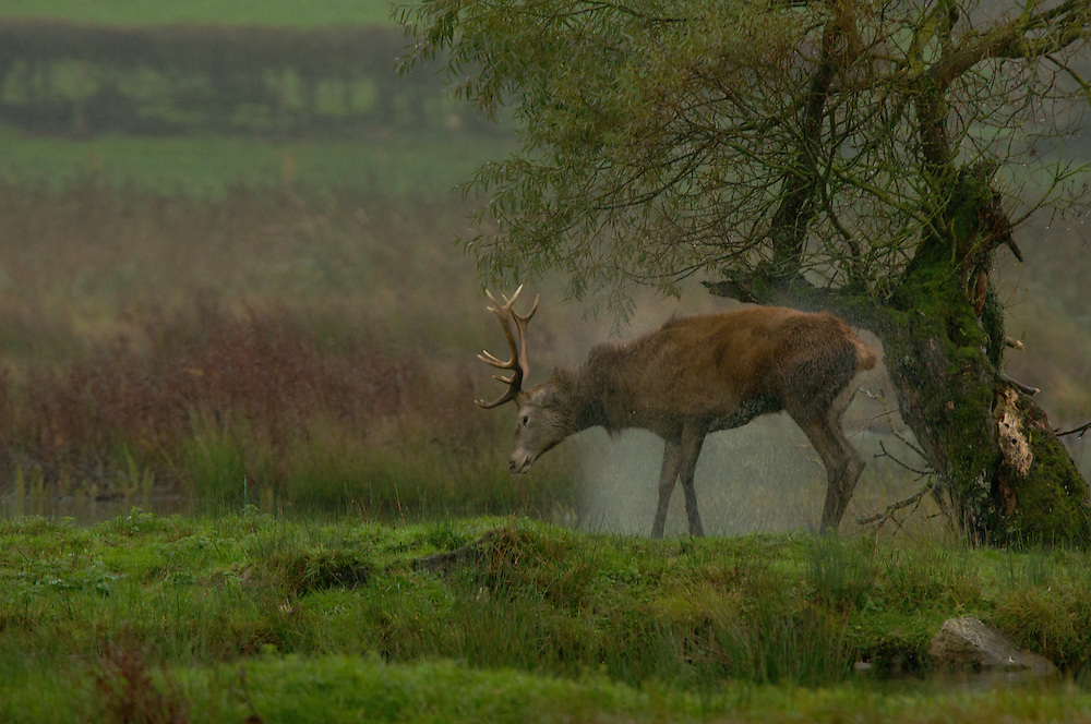 Wet Red deer Stag shaking water droplets off coat