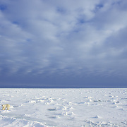 Polar bear (Ursus maritimus) on the frozen ice of Hudson Bay. Canada