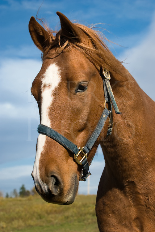 Stock photo head shot of young chestnut horse.