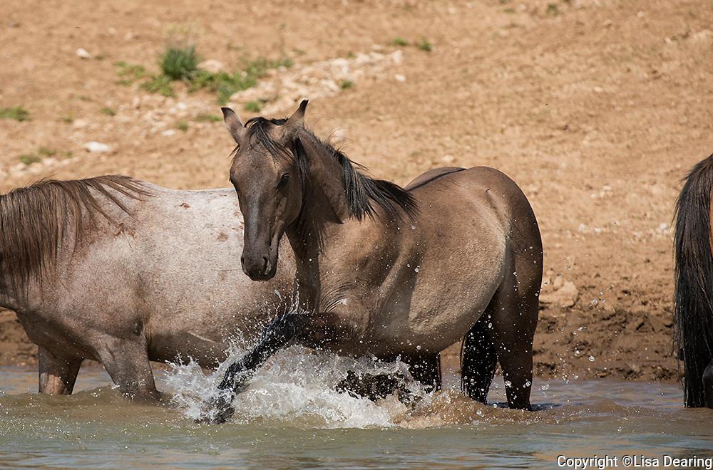 Wild Mustangs from the Pryor Herd at a Waterhole