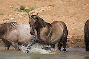Wild Mustangs from the Pryor Herd at a Waterhole