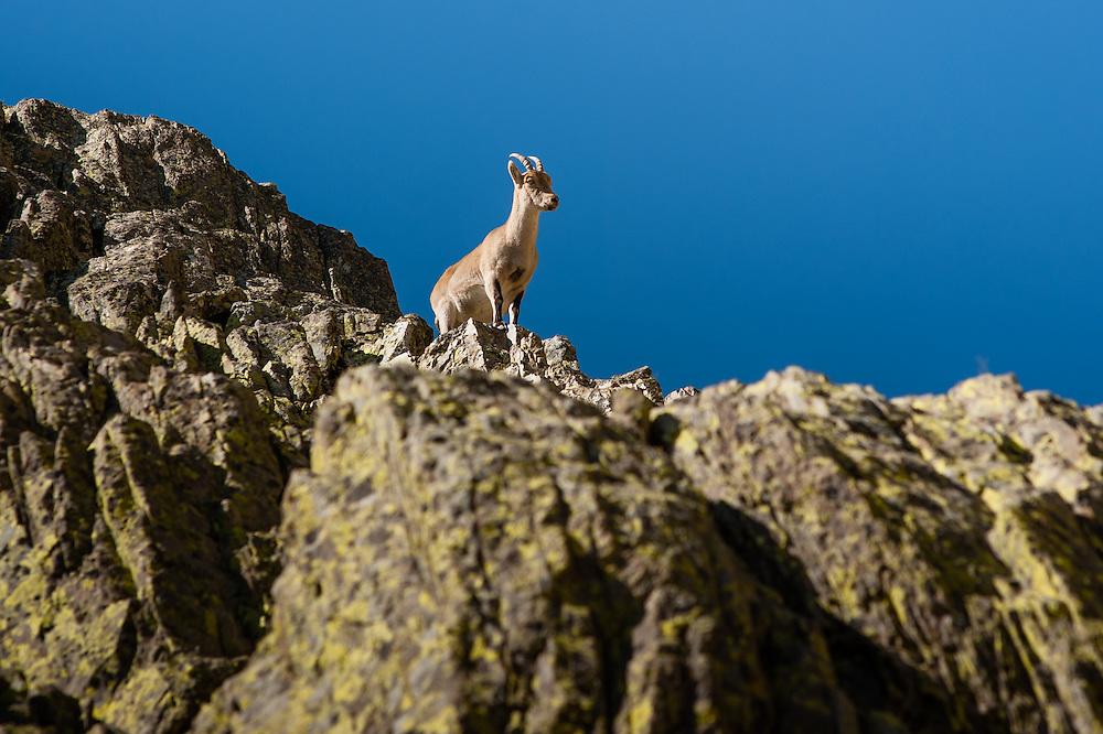Wild goat in Sierra de Gredos (Spain)