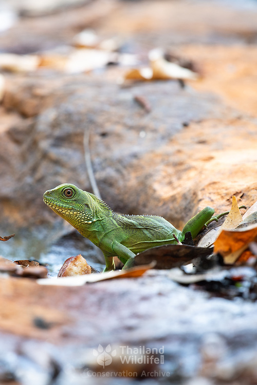 The Chinese water dragon (Physignathus cocincinus) is a species of agamid lizard native to China and mainland Southeast Asia. It is also known as the Asian water dragon, Thai water dragon, and green water dragon.