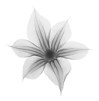 X-ray image of a Durand's clematis flower (Clematis durandii, black on white) by Jim Wehtje, specialist in x-ray art and design images.