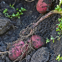 Three freshly dug red heritage potatoes, lying in the earth with an exposed root from the potato plant visible in the foreground.