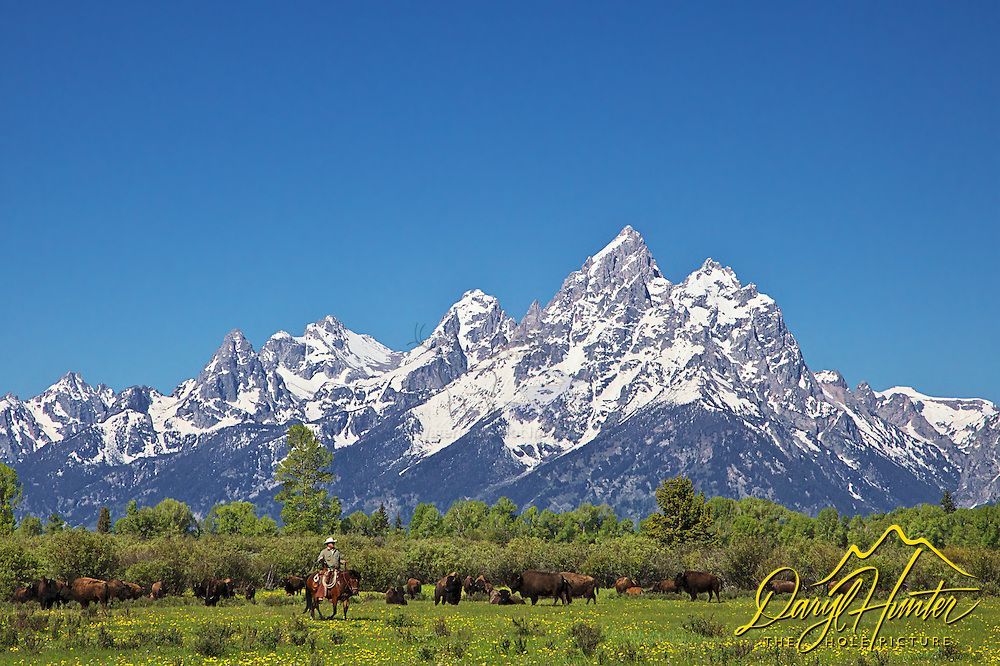 A Wyoming cowboy working  cows in Jackson Hole Wyoming had to cut them from this herd of buffalo. All this western action beneth the stunning peaks of the Grand Tetons.