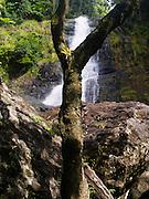Tree and bromeliad, with Los Prieto Falls, El Yunque National Forest, north of Naguabo, Puerto Rico.