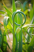 Garlic scape grows in beautiful coil