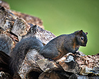 Black Squirrel. Image taken with a Nikon D5 camera and 600 mm f/4 VR telephoto lens (ISO 500, 600 mm, f/4, 1/640 sec).
