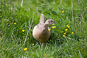 Female hen pheasant, Phasianus colchicus, leaving her nest in meadow in The Cotswolds, Oxfordshire, UK