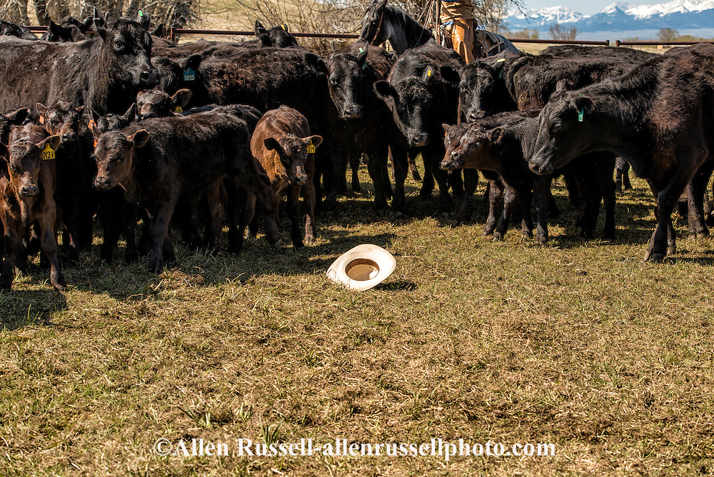 Cowboys, calves, cowboy hat, branding, Lazy SR Ranch, Wilsall, Montana, Troy Griemsman, MODEL RELEASED