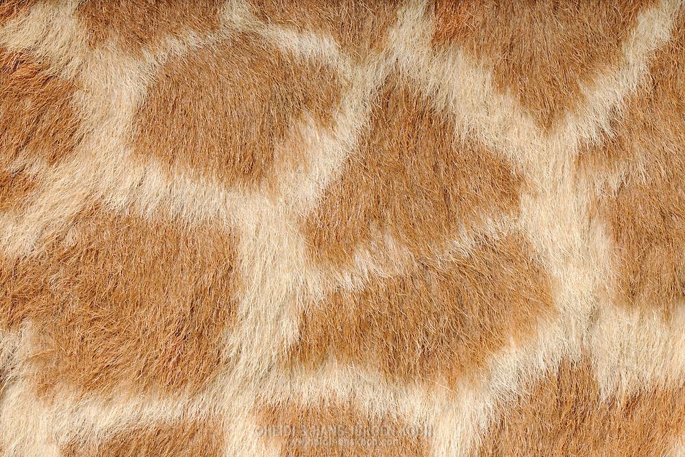 """Giraffe (Giraffa camelopardalis), close-up coat, It is an African even-toed ungulate mammal, the tallest of all land-living animal species. Height of bulls can be 6 meters, females a little bit lower. Habitat are the savannas of Africa. The pattern of the coat is composed of dark spots that stand out from the lighter ground color. Depending on the subspecies (there are nine of them) living in different regions vary in shape and color of the stain. Each spot pattern is unique. The underside is bright and unmarked. The patches are used to heat output. In the subcutaneous tissue extends to every spot a circular artery, sends branches into the spots. By strong blood flow giraffe losing heat and didn't need shadow. The smell of the coat is uncomfortable for us and reminds us of feces. In the giraffe hair is also a substance (p-cresol) scare ticks away. Frankfurt am Main, Hesse, Germany.This picture is part of the series """"Creature's Coiffure""""..Giraffe (Steppengiraffe) (Giraffa camelopardalis)Fellausschnitt einer Giraffe. Die Giraffe gehoert zu den Paarhufern und ist das hoechste Landlebewesen der Welt. Bullen werden bis zu 6 m hoch, Weibchen sind etwas kleiner. Ihr Lebensraum sind die Savannen Afrikas. Das Muster des Haarkleids besteht aus dunklen Flecken, die sich von der helleren Grundfarbe abheben. Je nach Unterart (es gibt davon 9), die in unterschiedlichen Regionen leben, variiert die Form und Farbe der Flecken. Jedes Fleckenmuster ist individuell. Die Unterseite ist hell und ungefleckt. Die Flecken dienen der Hitzeabgabe. Im Unterhautgewebe verlaeuft um jeden Flecken eine ringfoermige Arterie, die Aeste in den Flecken hinein aussendet. Ueber eine staerkere Durchblutung kann die Giraffe so mehr Hitze abgeben und ist nicht auf Schatten angewiesen. Der Geruch des Haarkleides ist fuer uns unangenehm und erinnert an Faekalien. Im Giraffenhaar befindet sich auch ein Stoff (p-Kresol) der Zecken abschreckt. Frankfurt am Main, Hessen, Deutschland.Dieses Bild ist Teil der Ser"""