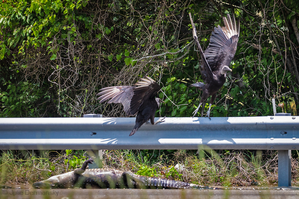 Vultures with alligator roadkill on the side of the road in Norco, Louisiana.