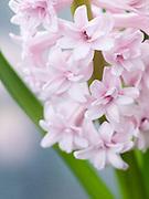 Hyacinthus orientalis 'Prince of Love' - double hyacinth