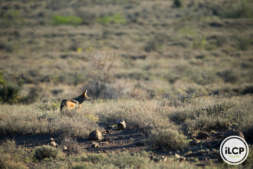 South Africa, Western Cape, Karoo, Karoo National Park, Wild Black-backed jackal (Canis mesomelas)